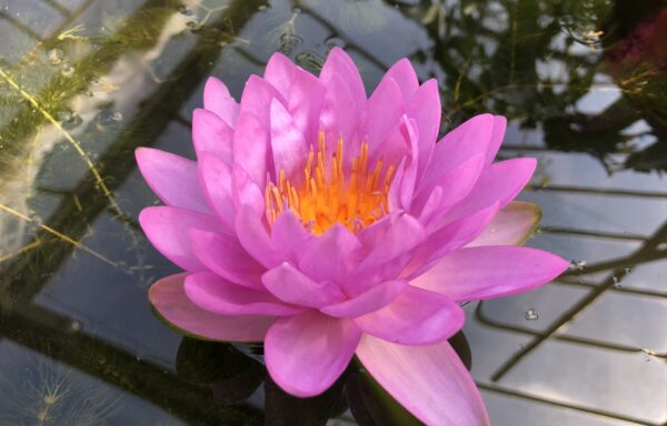 Nymphaea 'Siam Purple 2' – dwerg/klein/middenmaat